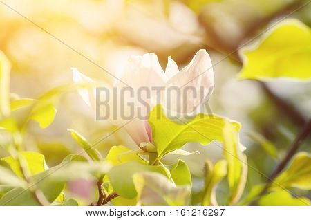 Blossoming of magnolia flowers in spring time, sunny floral background