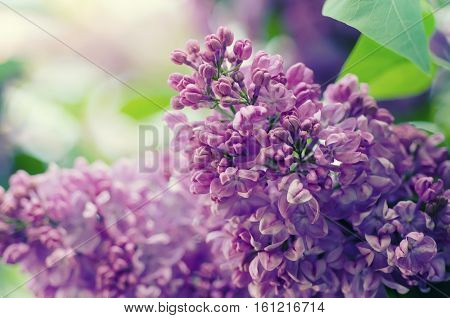 Branch of lilac purple flowers with green leaves, floral natural macro background, soft focus