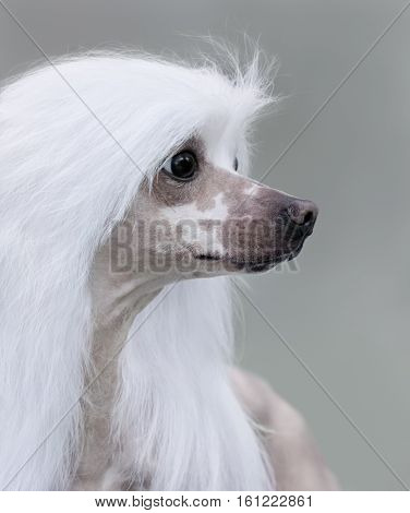 Close up portrait of dog. Chinese Crested Dog Breed. Side view.