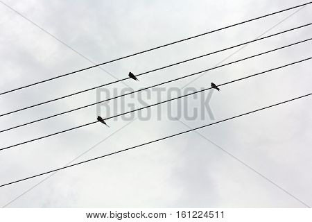 On the electric wires sit three swallows or canary. Birds sit on wires on a background of gloomy gray sky. The wires are arranged on the diagonal of the frame. Katinka resembles musical notation line. Birds sitting on wires like musical notes in a noteboo