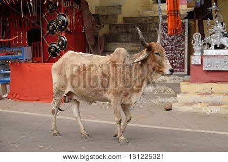 PUSHKAR, INDIA - FEBRUARY 17: cows strolling around in the city of Pushkar, India. Most Hindus respect the cow for her gentle nature which represents the main teaching of Hinduism, on February 17,2016