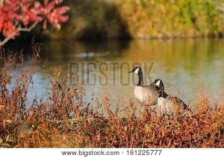 Pair of Canada Geese Resting Beside the Autumn Lake