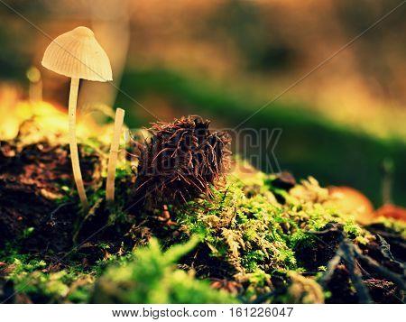 Mysterious Wild Muschroom In Lighting Forest. Slim Stalk, Fallen Leaves