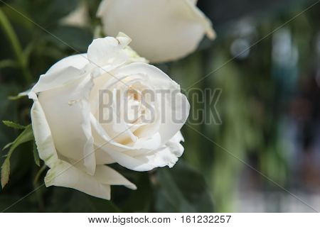 Beautiful white rose as a natural in the garden.