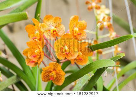 orange vanda orchid flower , nature beauty