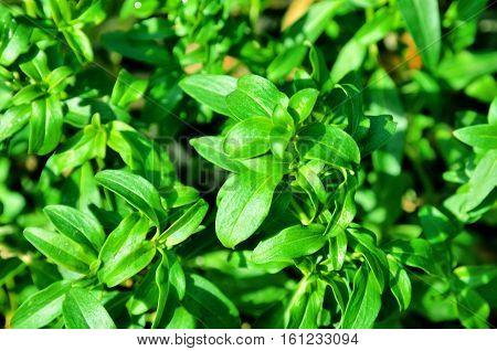 Many mint longifolia plant, as a background.