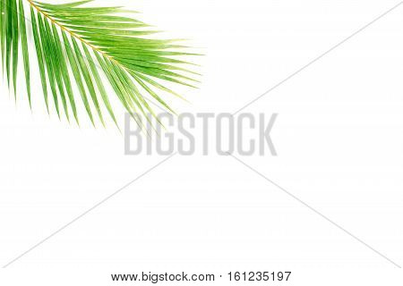 palm branch isolated on white background. flat lay top view