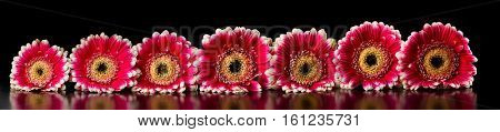 Panoramic image with pink gerberas on black background