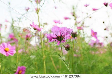 Pink cosmos flowers Gardens in bloom nature