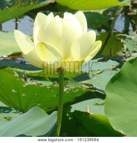 Water lily in full bloom surrounded by lily pads in Pennsylvania
