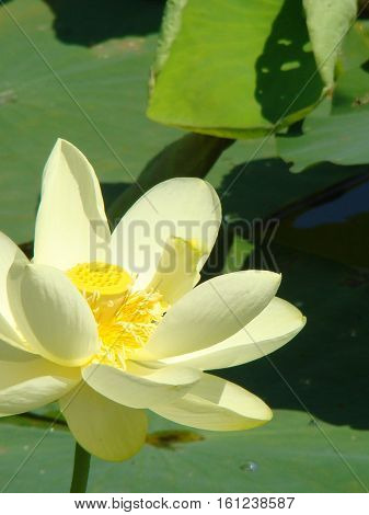 Water Lily in full bloom surrounded by lily pads