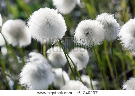 Arctic cotton grass flowers in the springtime tundra
