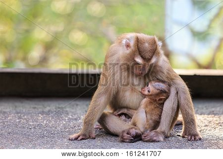 Brown Mother Monkey With Her Cute Baby In Nature Of Thailand