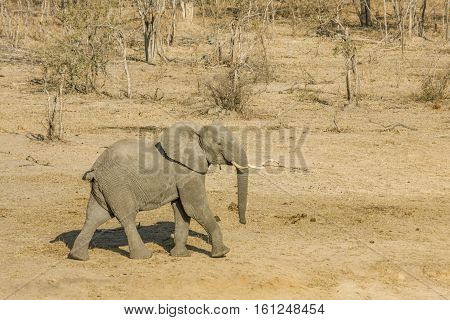 african bush elephant walking in a dry savannah, in kruger Pakrk South Africa