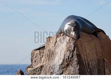 California Sea Lion laying on the Pinnacle rock of Lands End at Cabo San Lucas Baja Mexico BCS