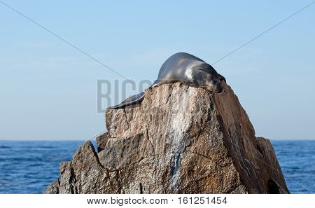California Sea Lion reflecting sunight on the Pinnacle rock of Lands End at Cabo San Lucas Baja Mexico BCS