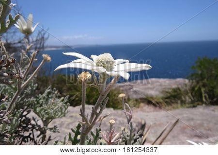 White native wild Flannel Flowers growing on a Australian coastal beach rock ledge