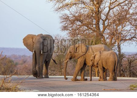 family of african bush elephants crossing the road in kruger park, South Africa