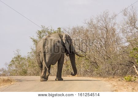 african bush elephant crossing the road in Kruger park, South Africa