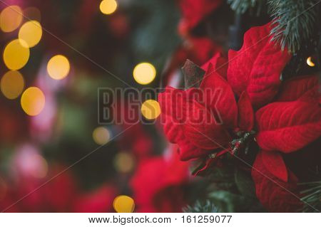 Festive decoration background with red artificial poinsettia flowers as Christmas symbol