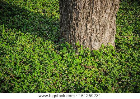 Tree with Carmona retusa (Vahl) Masam in the garden.