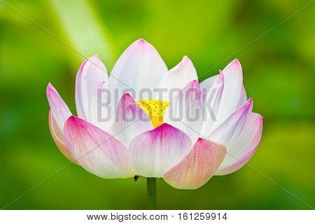 Closeup photo of the lotus flower