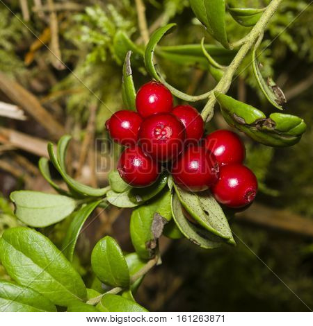 Vaccinium vitis-idaea Ripe cowberry small bush with berries and leaves macro selective focus shallow DOF
