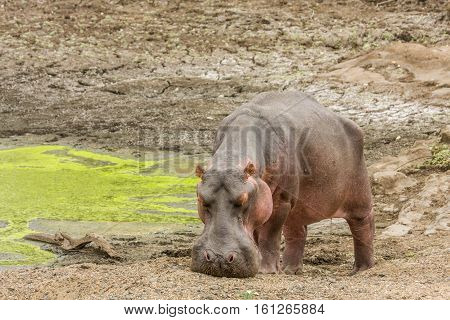 wild hippo grazing in the riverbank, Kruger Park, South Africa
