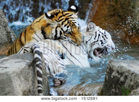 White Tiger And Orange Tiger Playing