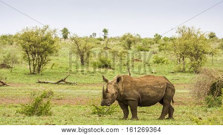 african white rhinoceros in a green savannah, Kruger Park, South Africa