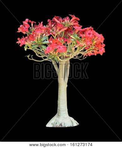 azalea flowers isolated on black background with clipping path
