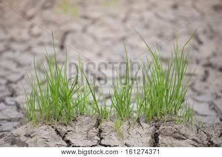 close up Green grass on cracked earth