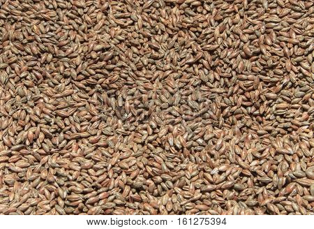 Malt background. Ingredient for beer close up