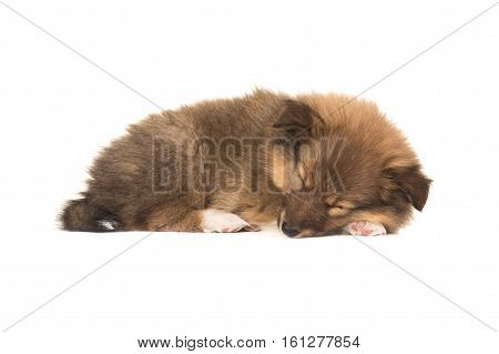 Sleeping sheltie shetland sheepdog puppy dog with eyes closed isolated on a white background seen from the side