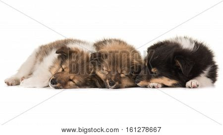 Three cute sleeping shetland sheepdog puppies lying netxt to eachother isolated on a white background