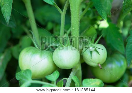 Green tomatoes ripen immature with garden in a greenhouse in the open air