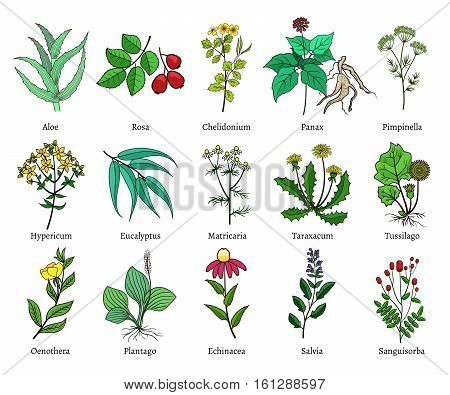 Hand drawn medical herbs. Green isolated on white background, useful plants vector illustration