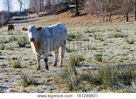one white cow with long hair standing on the graas