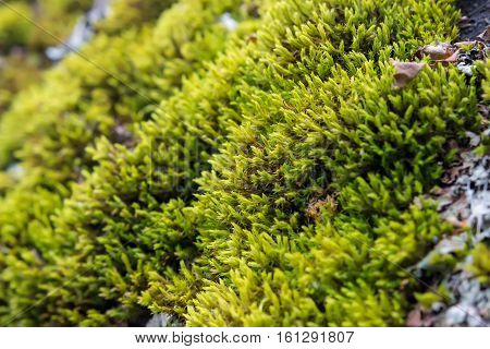 Beautiful background with a bright green moss. Close-up. Shallow depth of field.