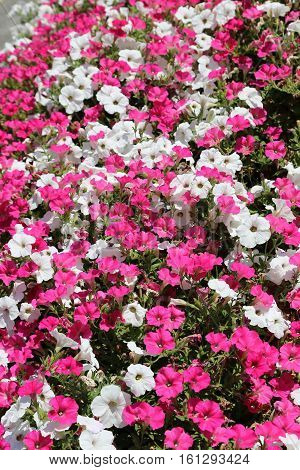 Beautiful flowers of pink and white petunia nature background