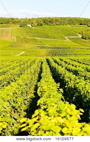 grand cru vineyards of Echezeaux, Burgundy, France poster