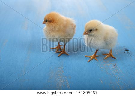 Fluffy Little Yellow Chickens On A Blue Wooden Background. Card For Easter.