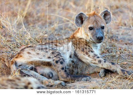Hyena in safari park in South Africa