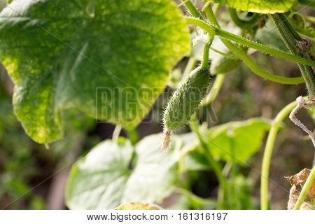 Cucumber with pimples growing in the photo for you