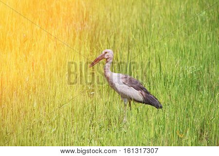 Stork in green cornfield with sunset light tone.