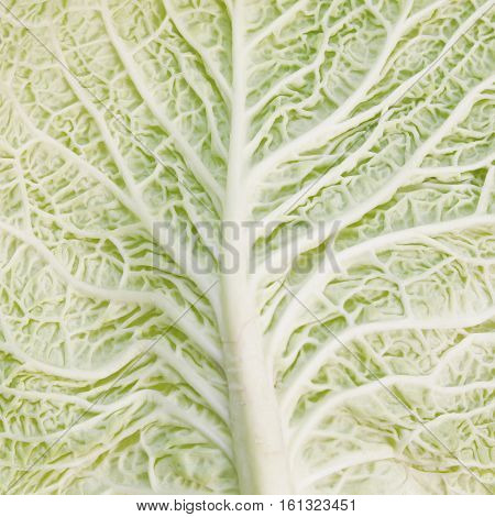 Natural green background. Savoy cabbage leaf texture