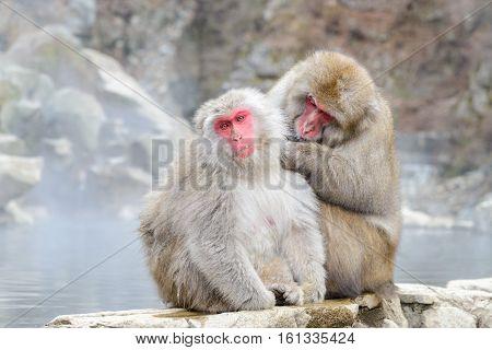Monkey In Jigokudani Monkey Park  Or Snow Monkey, Grooming
