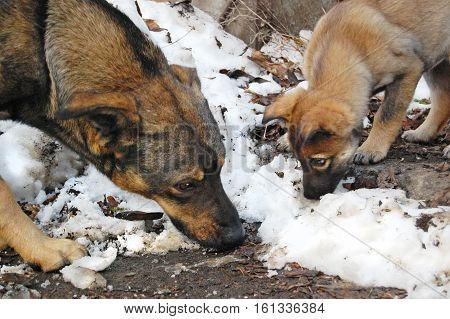 Homeless dog and puppy looking for food. Winter, snow.