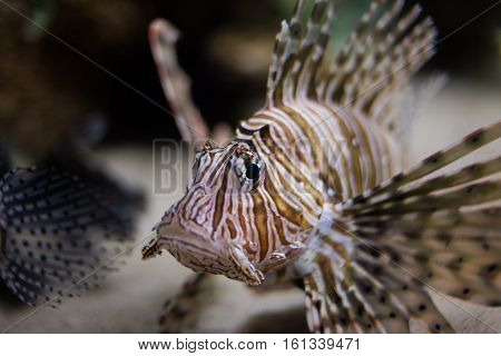 Close up of a lion fish swimming on a coral reef