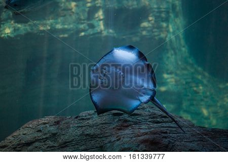 Sting ray swimming in the ocean with light rays filtering in in the background